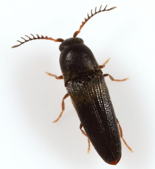 Eucnemid - Deltometopus amoenicornis