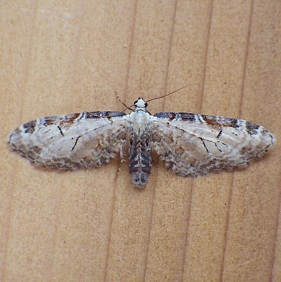 Geometridae: Eupthecia ravocostaliata - Eupithecia ravocostaliata