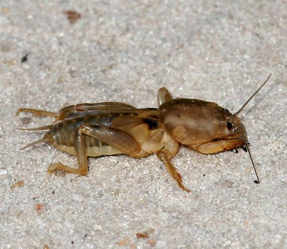 Mole Cricket - Neoscapteriscus vicinus