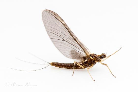 Mayfly in September - Attenella margarita