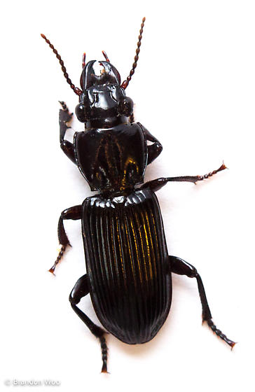 Morion monilicornis