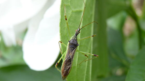 Gangly Bug - Zelus luridus