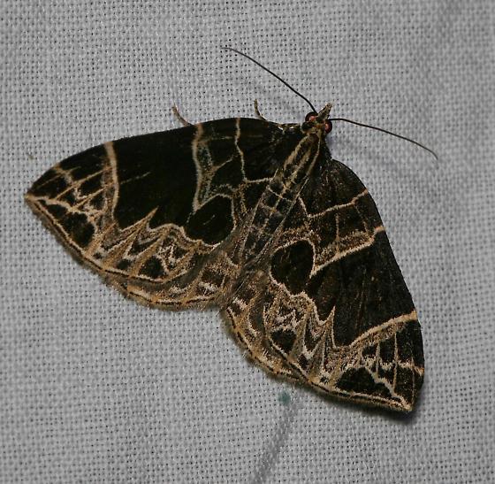 I.D help - Ecliptopera atricolorata
