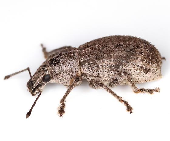Weevil - Epicaerus sulcatus