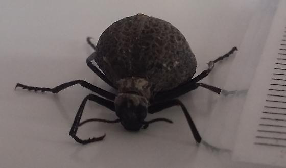 Ant Like - Cysteodemus armatus