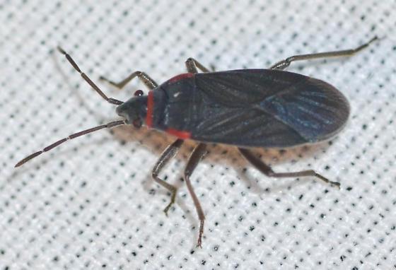 bug - Melacoryphus rubicollis