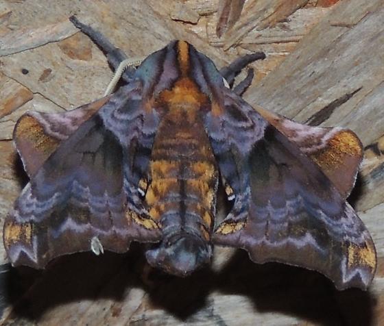 purple /orange moth - Paonias myops