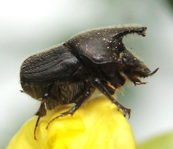 Scooped Scarab? - Onthophagus hecate - male