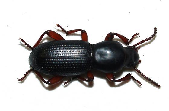 Teneb - Argoporis