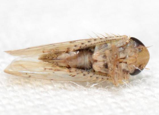 Atanus - female