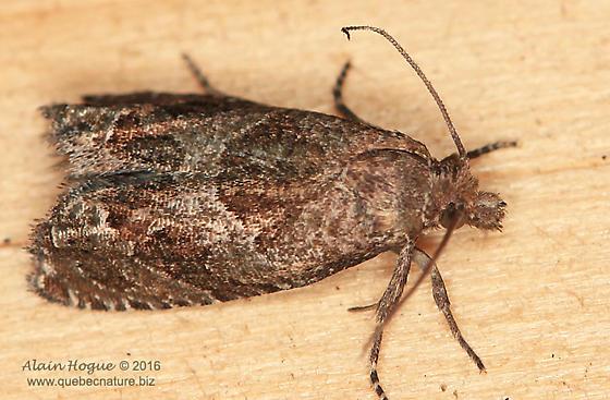 Moth - Pelochrista milleri