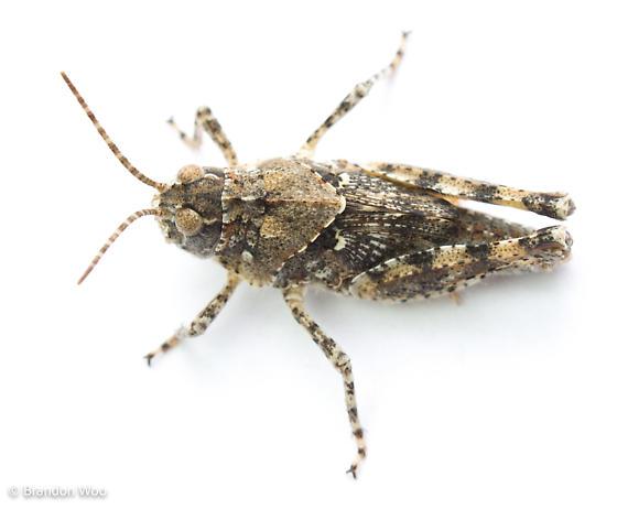 Trimerotropis maritima - female