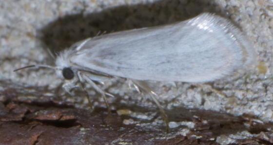 White moth with half-black antennae