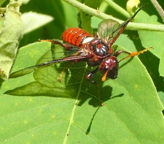 Sawfly - Cimbex americanus