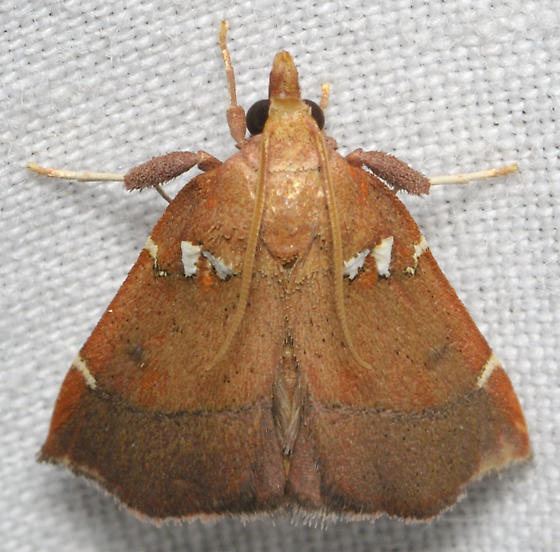 Brown moth with white spots - Lepidomys irrenosa