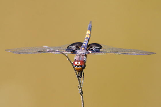 Thought I had a new new (for me) dragonfly, but.... - Tramea lacerata