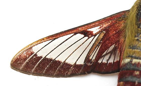 Hemaris gracilis