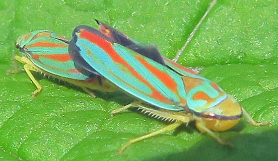 Rhododendron Leafhopper - Graphocephala - male - female