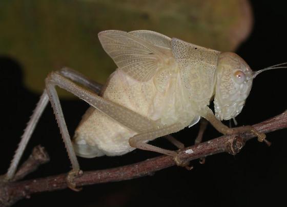 Ruby Rd. katydid - Microcentrum - female