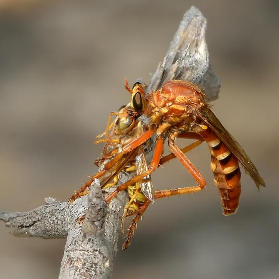 Unknown robber fly (Diogmites? Saropogon? ) - Saropogon