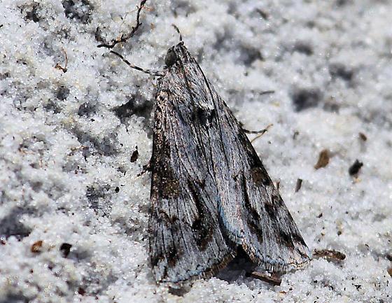 Scrub Land Moth - Melipotis jucunda