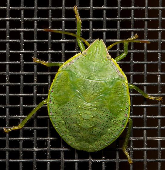 Stink Bug? - Loxa
