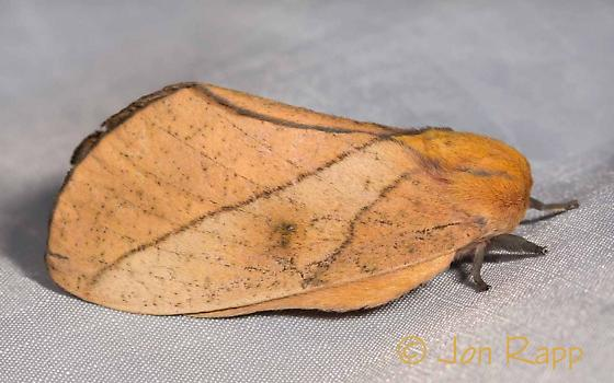 Moth - Syssphinx montana