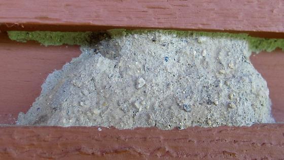 mud nest? - Ancistrocerus waldenii