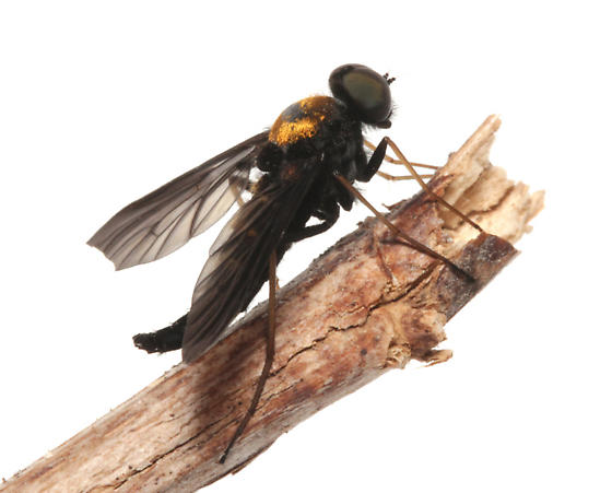 Rhagionidae, Golden-backed Snipe Fly,n lateral - Chrysopilus thoracicus - male