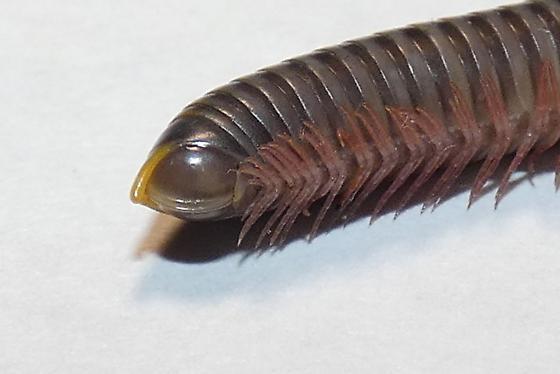 Anadenobolus or Eurhinocricus?