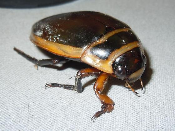 Dytiscus - Dytiscus hybridus - male