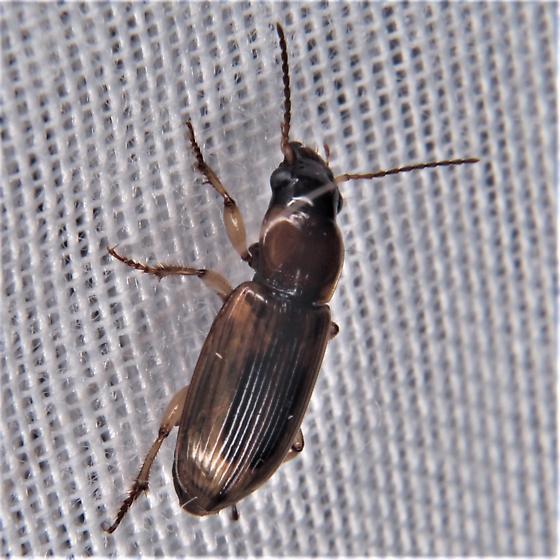 Seedcorn Beetle - Stenolophus