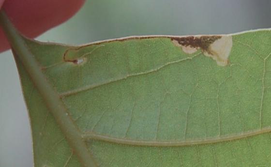 St. Andrews Leaf miner on Quercus laevis SA322 2016 4 - Eriocraniella mediabulla