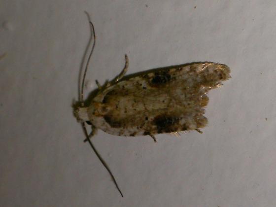 Kitchen Moth   Agonopterix