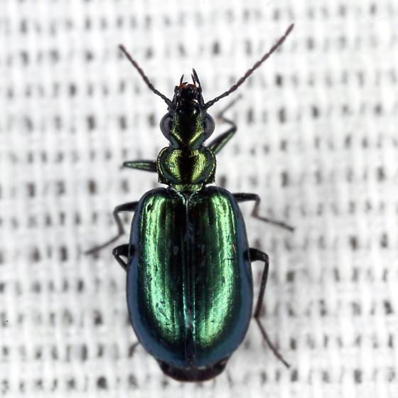 Colorful Foliage Ground Beetle - Lebia viridis