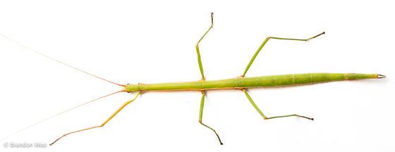 Manomera blatchleyi - female