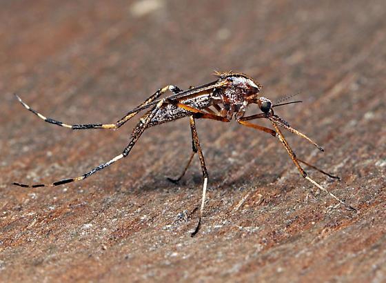 Psorophora ciliata - female