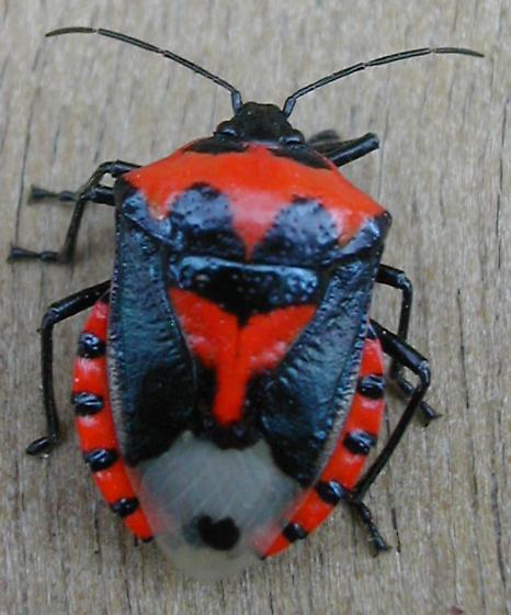 Stink Bug (Vulsirea nigrorubra)  - Vulsirea nigrorubra