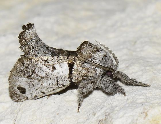 Moth - Inguromorpha n-sp - male
