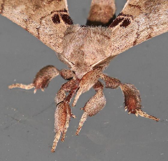 Moth - Apatelodes torrefacta - male