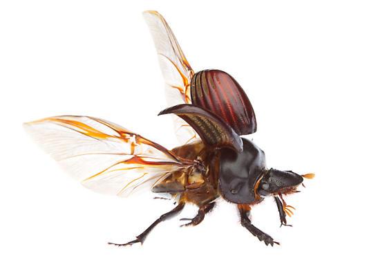 Dichotomius colonicus? - Dichotomius colonicus