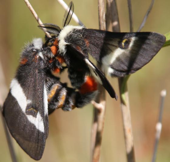 Hemileuca sp - Fen/Bog Buck Moth - Hemileuca maia - male - female