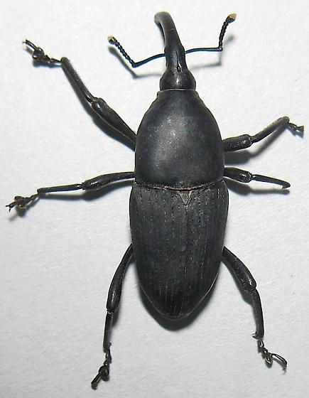 Large Cactus Weevil - Cactophagus spinolae