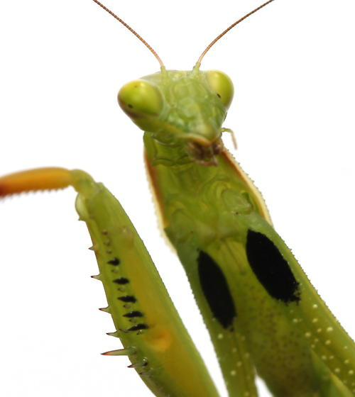 Mantis religiosa - female