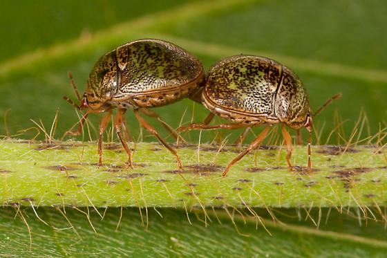 Globular Stink Bugs, Mating - Megacopta cribraria - male - female