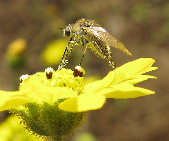 Fly (Diptera) - have no idea what family - Geron