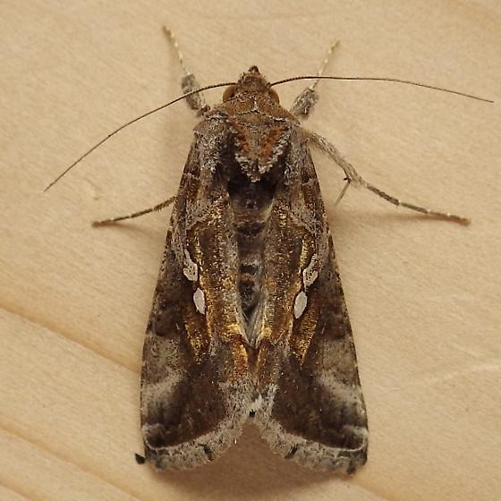Noctuidae: Chrysodeixis includens? - Chrysodeixis includens