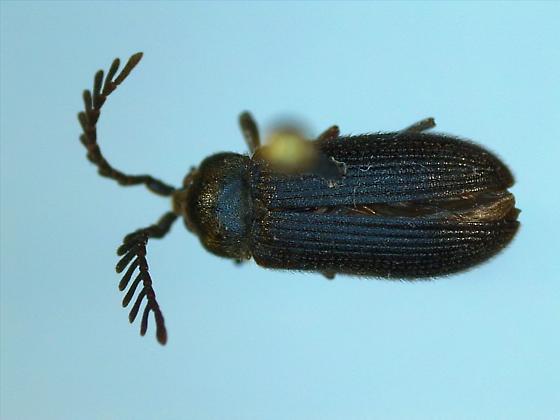Cerophytidae? - Cerophytum pulsator