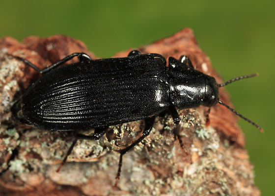 False Darkling Beetle - Melandrya striata