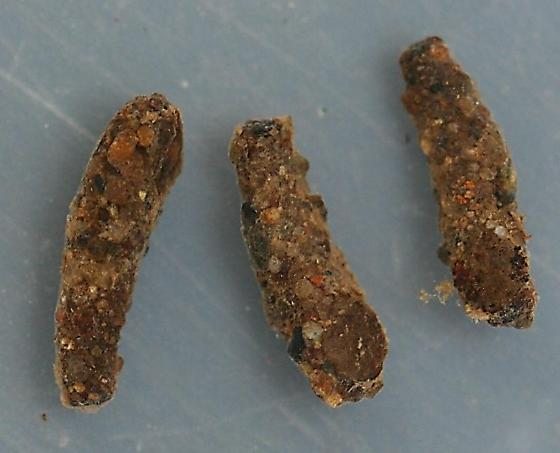 Apatania pupae and pupal cases - voucher specimens, in alcohol - Apatania